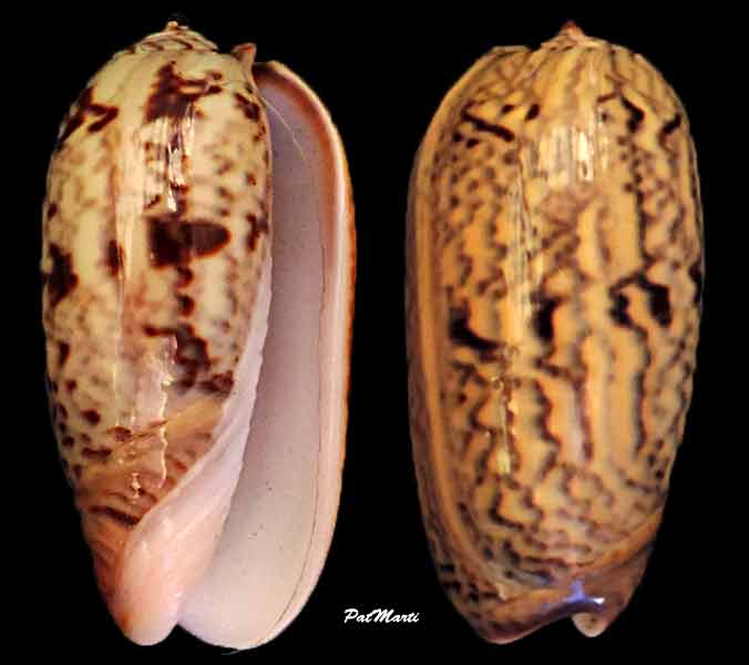 Viduoliva elegans (Lamarck, 1811) Oliva-13