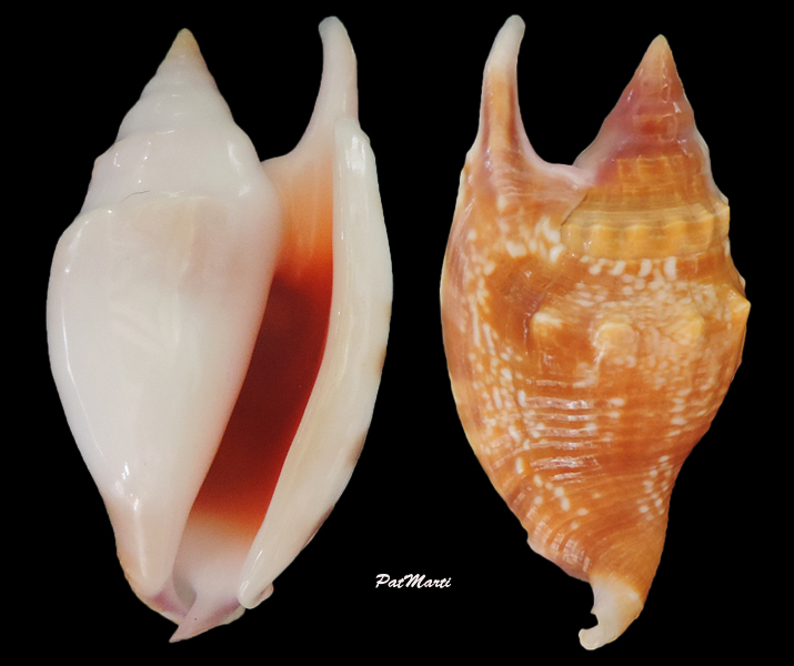 Euprotomus bulla - (Röding, 1798) Strobu10