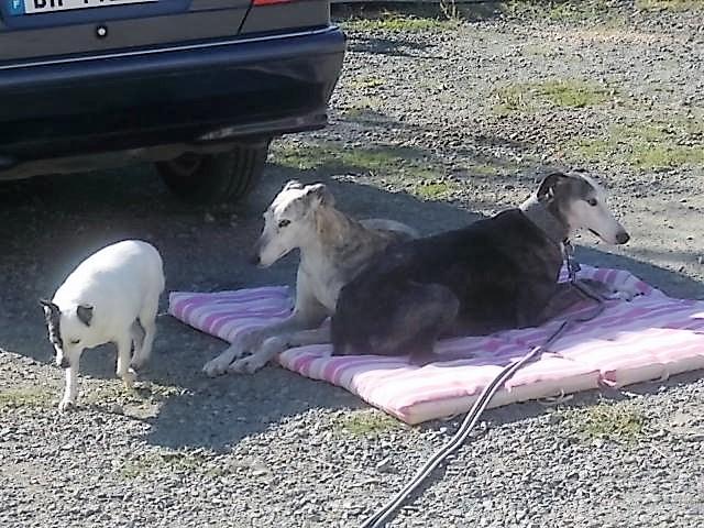 Bruja, galga grise et blanche, 5 ans Adoptée  - Page 3 Bruja_13