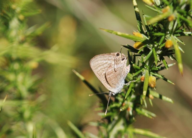Azuré porte-queue (Lampides boeticus) - Page 2 Lamp_110