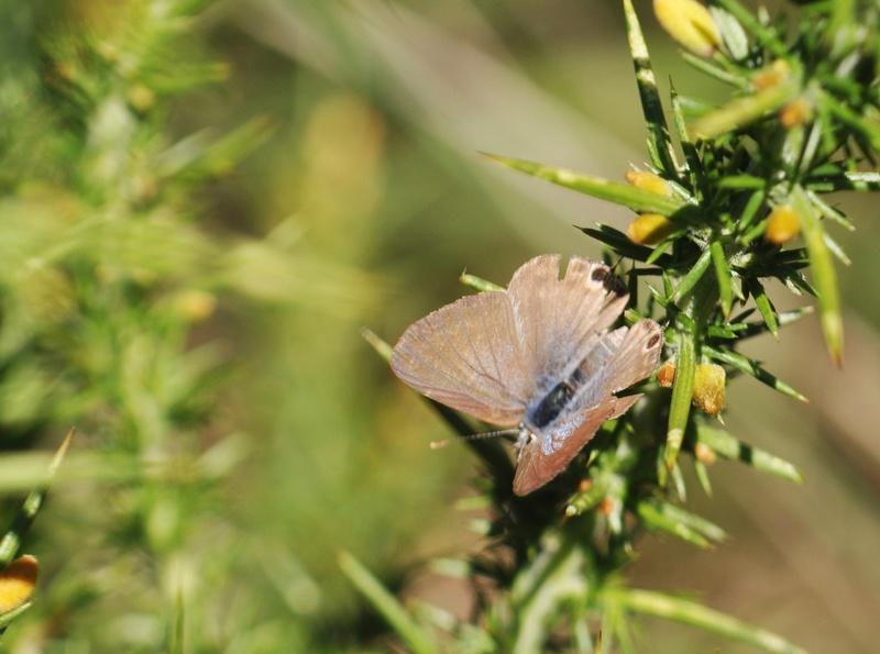 Azuré porte-queue (Lampides boeticus) - Page 2 Lamp_210