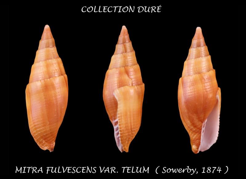 Strigatella fulvescens telum - Sowerby, 1874 Panora20