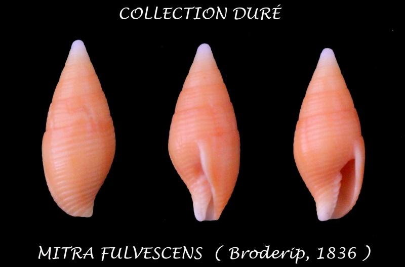 Strigatella fulvescens - (Broderip, 1836)  Panora21