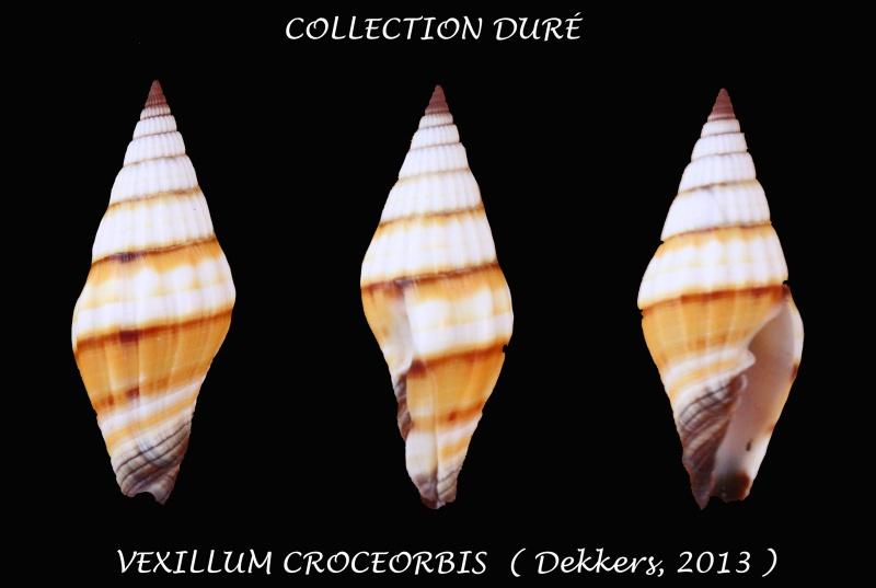 Vexillum croceorbis - Dekkers, 2013  Panora45