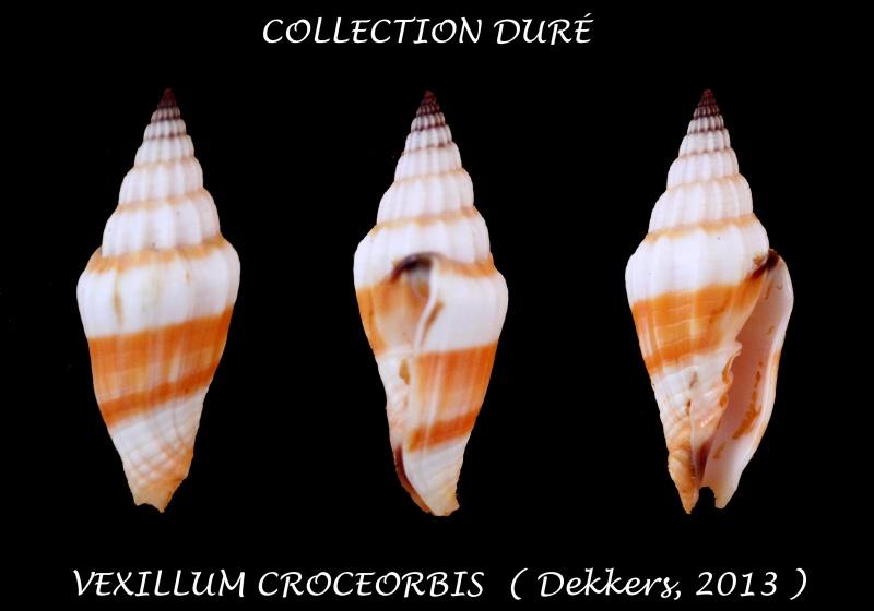 Vexillum croceorbis - Dekkers, 2013  Panora46