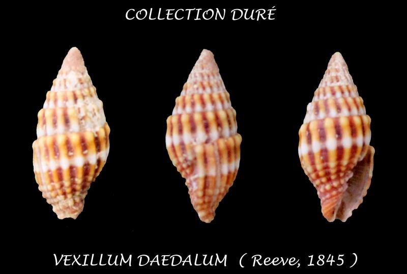 Vexillum daedalum - (Reeve, 1845)  Panora47