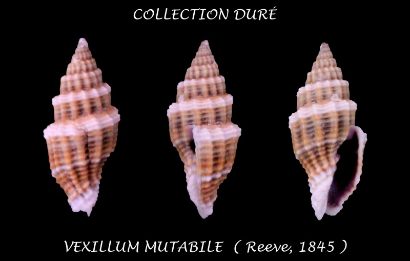 Vexillum mutabile - (Reeve, 1845)  Panora52