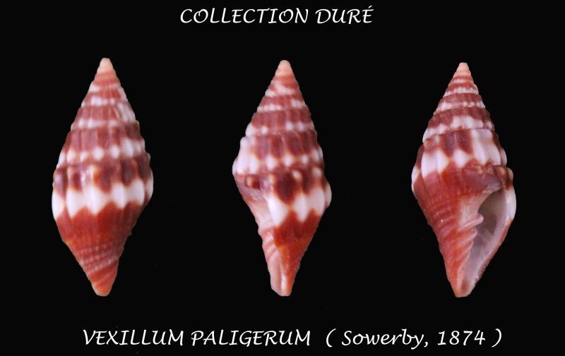 Vexillum paligerum - (G. B. Sowerby II, 1874)  Panora53