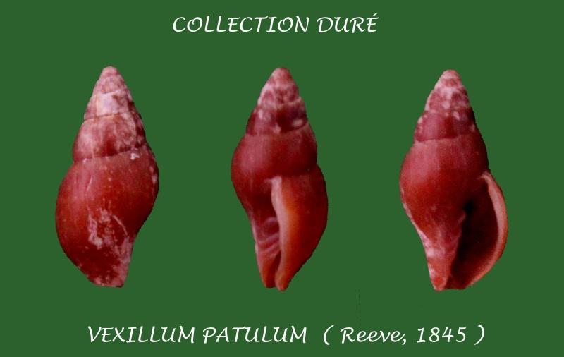 Vexillum patulum - (Reeve, 1845) Panora54