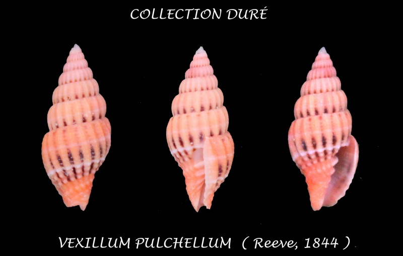 Vexillum pulchellum - (Reeve, 1844) Panora55