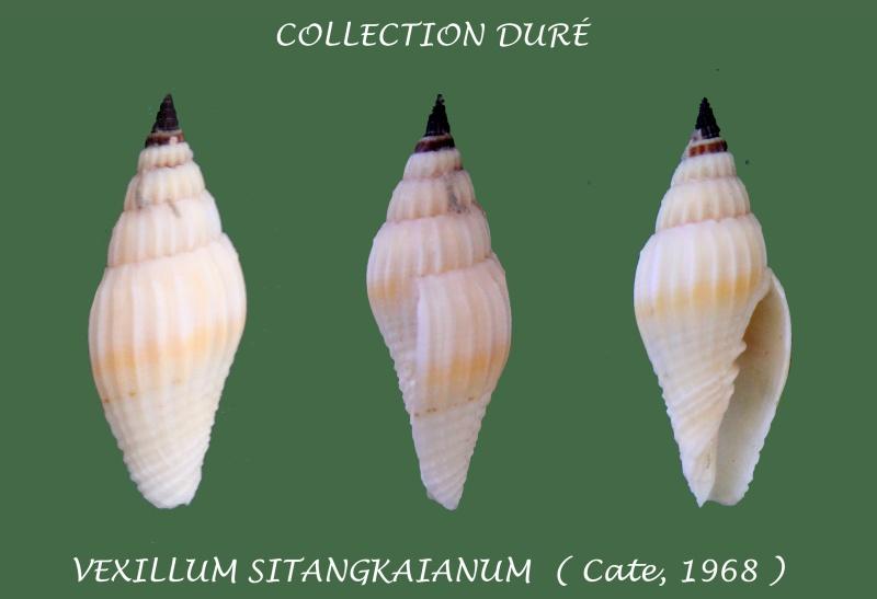 Vexillum sitangkaianum - J. Cate, 1968 Panora56