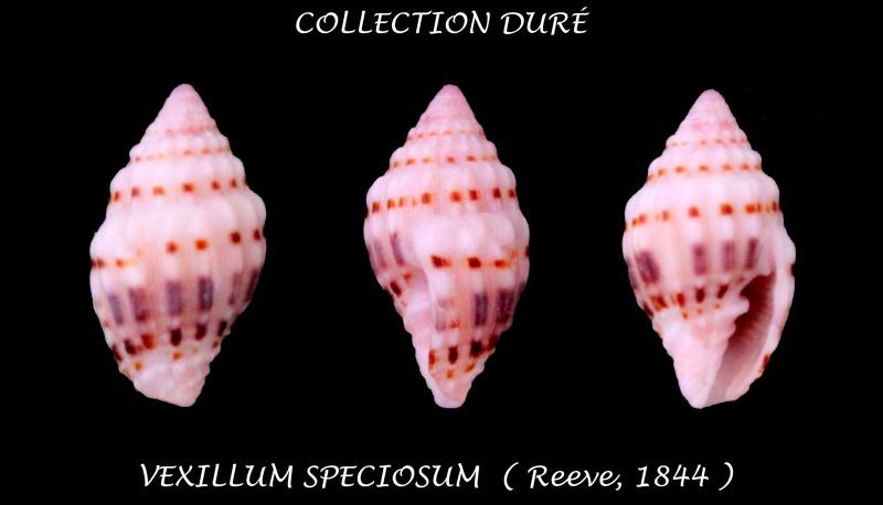 Vexillum speciosum - (Reeve, 1844) Panora57