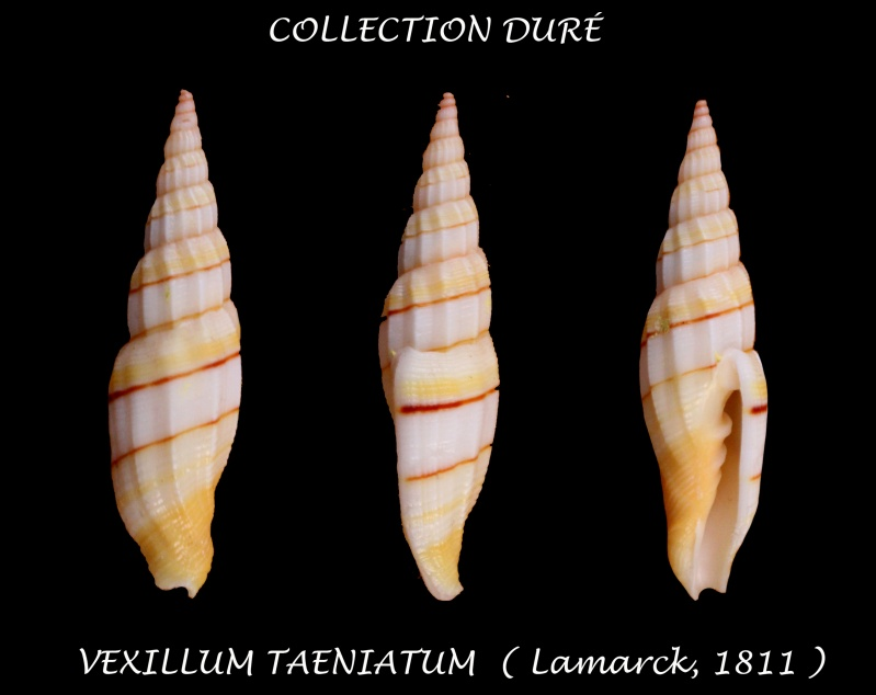 Vexillum taeniatum - (Lamarck, 1811) Panora59