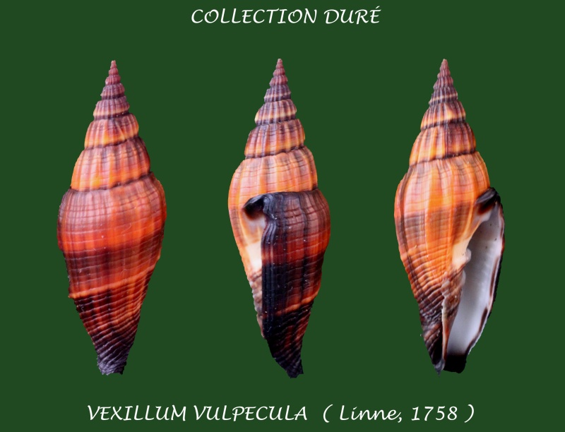 Vexillum vulpecula - (Linnaeus, 1758) - Page 3 Panora62