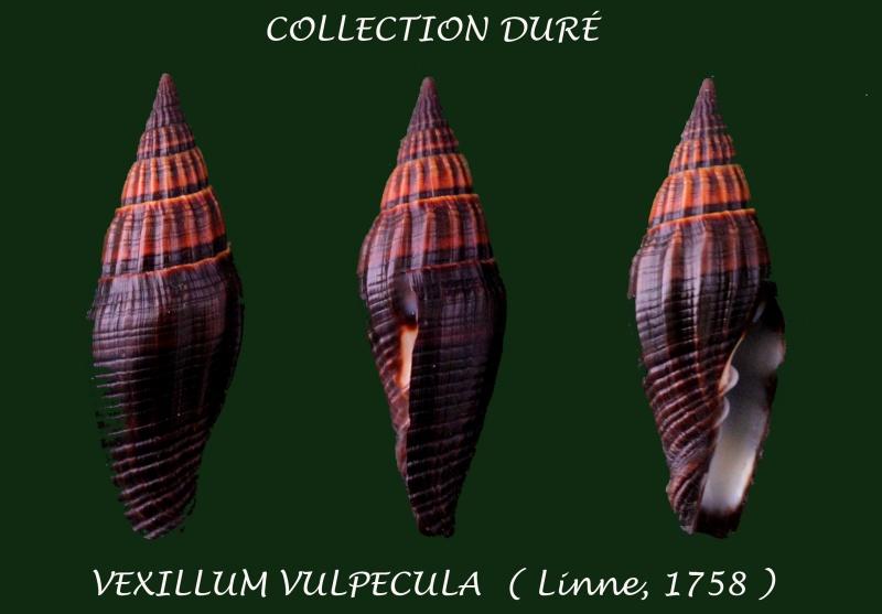 Vexillum vulpecula - (Linnaeus, 1758) - Page 3 Panora64