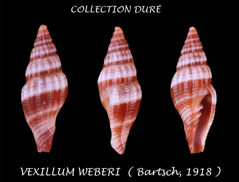 Vexillum weberi - Bartsch, 1918 accepted as Vexillum rugosum - (Gmelin, 1791)  Panora65