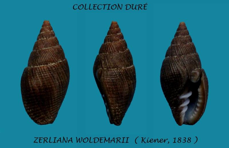 Vexillum woldemarii - (Kiener, 1838) Panora68