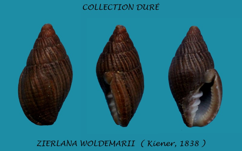 Vexillum woldemarii - (Kiener, 1838) Panora69