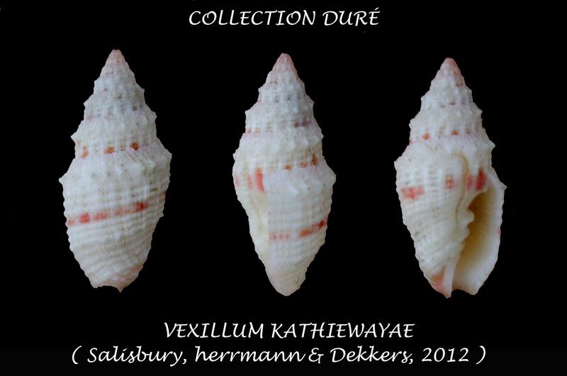Vexillum kathiewayae - Salisbury, Herrmann & Dekkers, 2012 Panora81