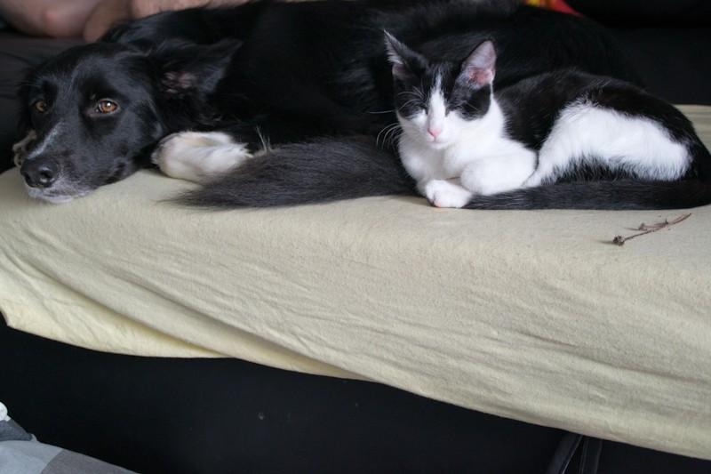 Les chats à adopter qui s'entendent avec les chiens 00210
