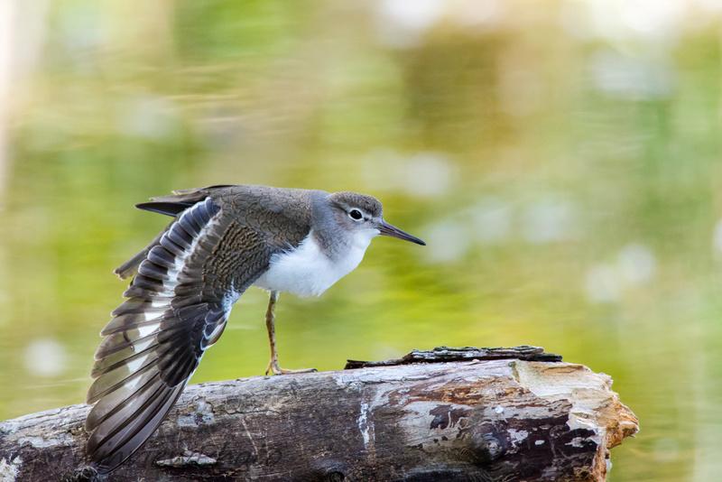 3 oiseaux de rivages aux noms incertains 001_2610