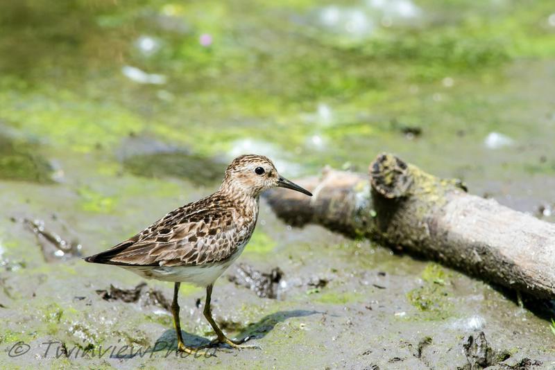 3 oiseaux de rivages aux noms incertains 001_3010