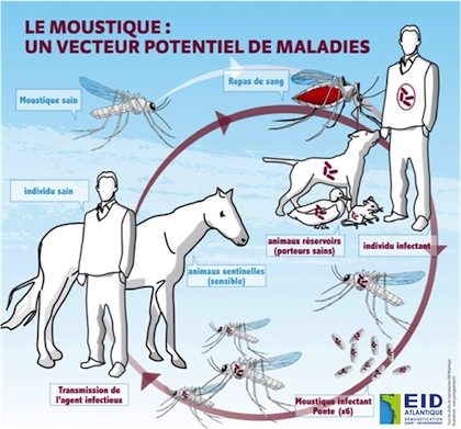 Le moustique, cette bête féroce... Mousti10