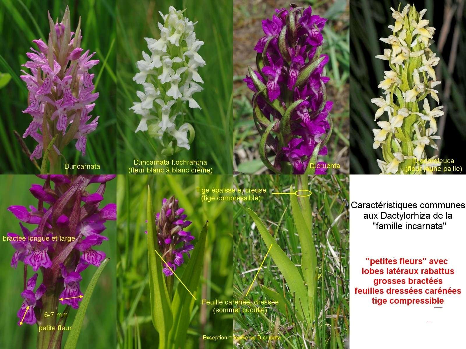 Démarche à suivre face aux Dactylorhiza... Famill10