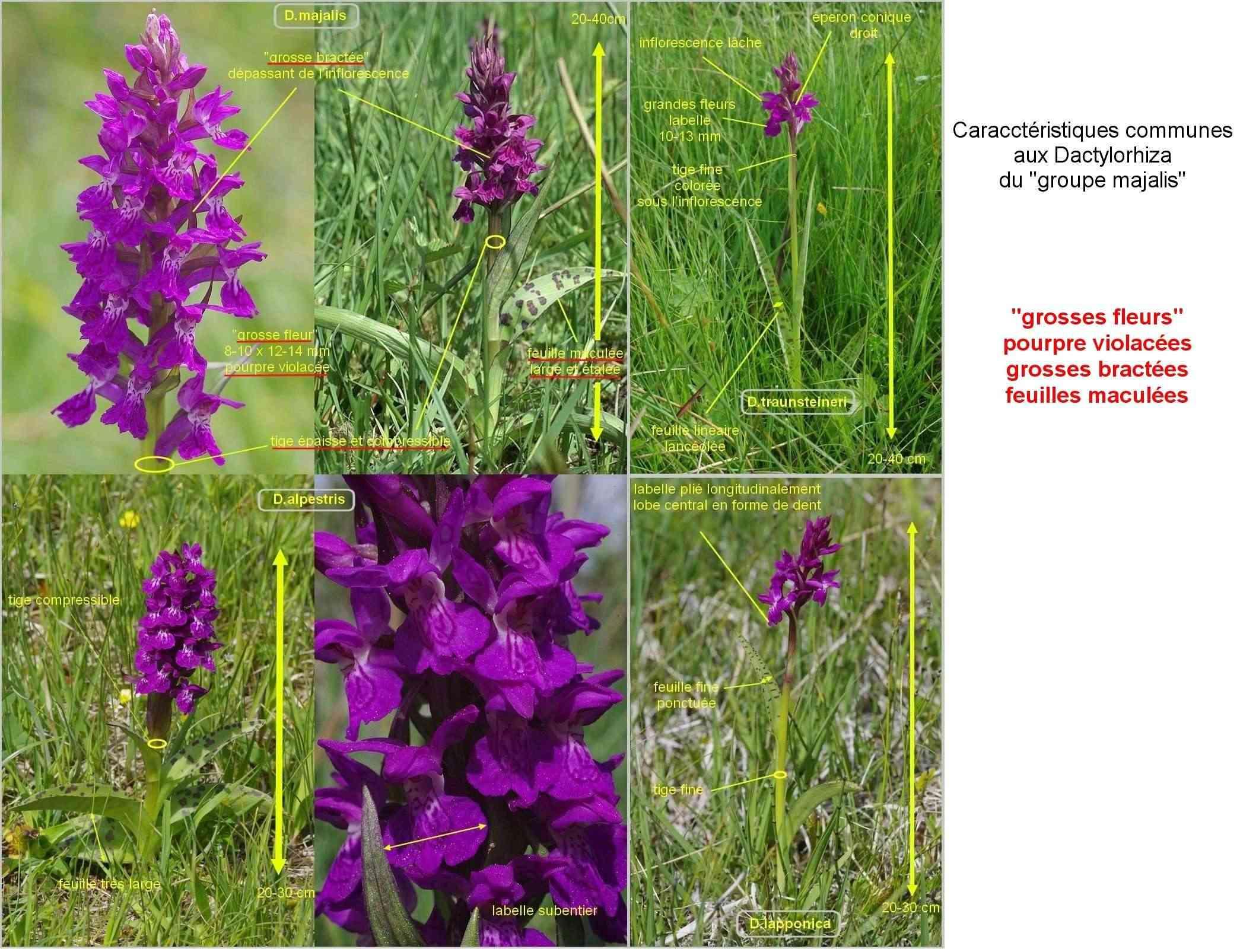 Démarche à suivre face aux Dactylorhiza... Famill17