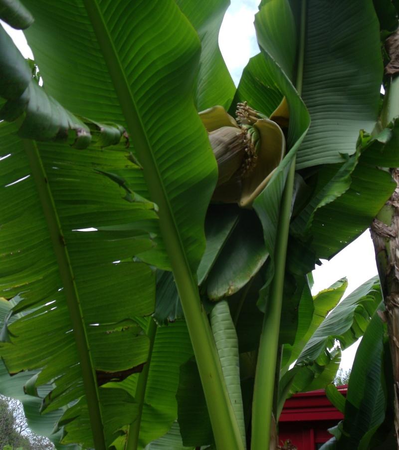 Musa basjoo - bananier du Japon 110