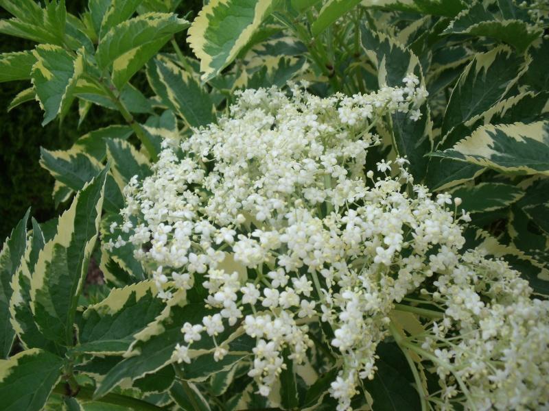 Sambucus nigra et cultivars - sureau noir - Page 2 Dscf0415
