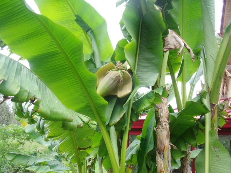 Musa basjoo - bananier du Japon Dscf0510