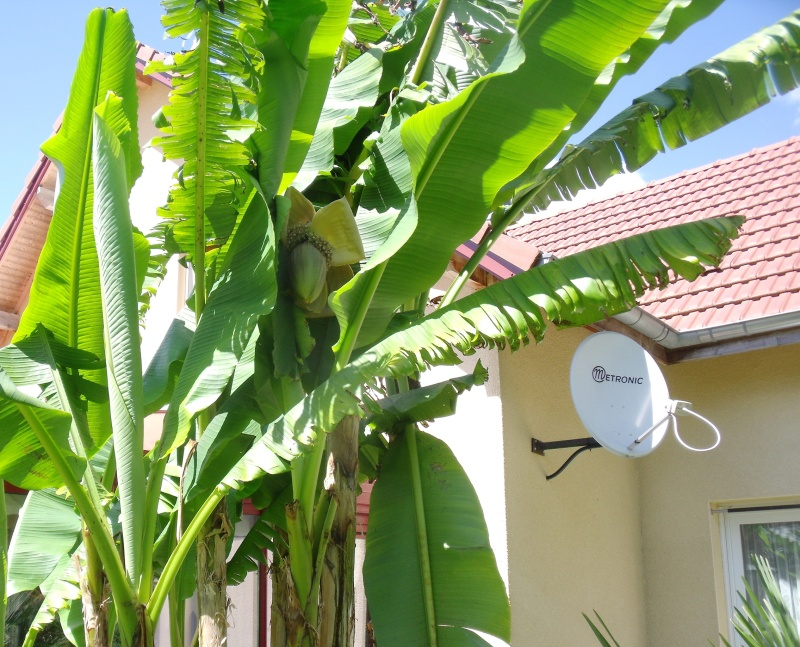 Musa basjoo - bananier du Japon Dscf0515