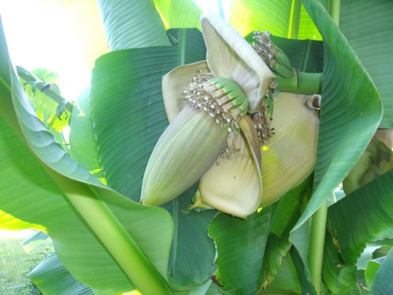 Musa basjoo - bananier du Japon Dscf0516