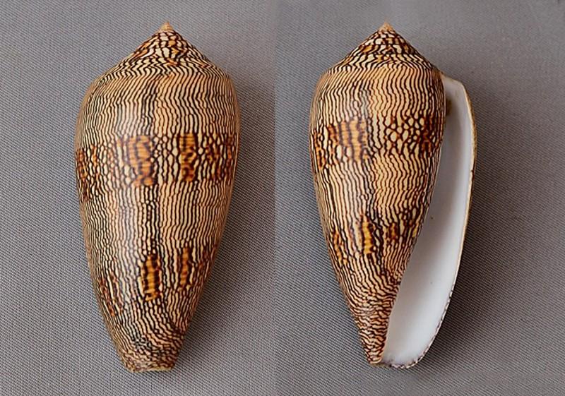 Conus (Cylinder) textile cholmondeleyi  Melvill, 1900 voir Conus (Cylinder) textile Linnaeus, 1758 3283-110