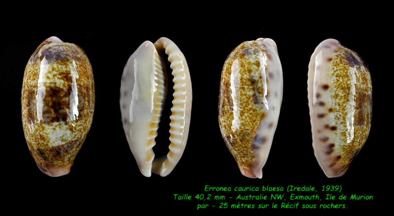 Erronea caurica blaesa - Iredale, 1939 Cauric10