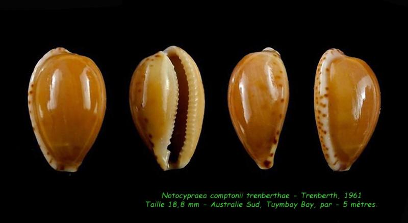 Notocypraea comptonii trenberthae - Trenberth, 1961 Compto11