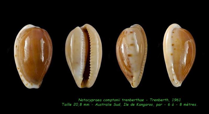 Notocypraea comptonii trenberthae - Trenberth, 1961 Compto15