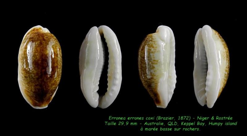 Erronea errones coxi - (Brazier, 1872) - Page 2 Errone12