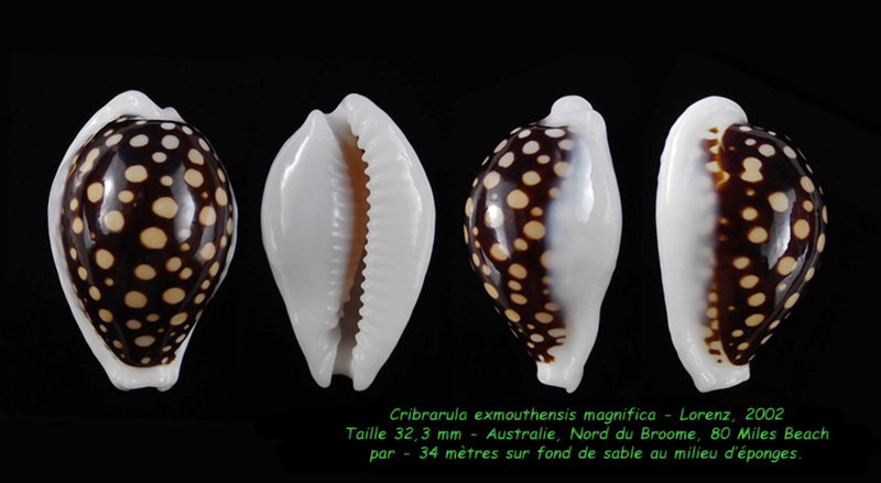 Cribrarula exmouthensis magnifica - Lorenz, 2002 Exmout10