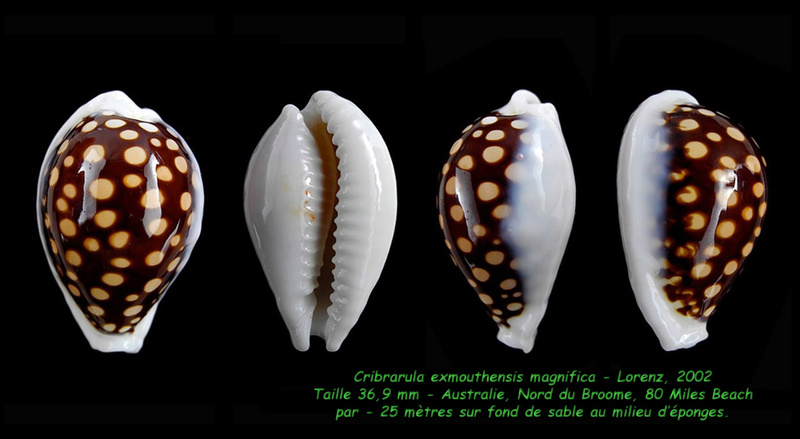 Cribrarula exmouthensis magnifica - Lorenz, 2002 Exmout11