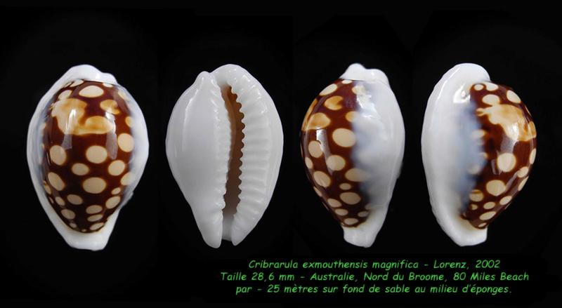 Cribrarula exmouthensis magnifica - Lorenz, 2002 Exmout12