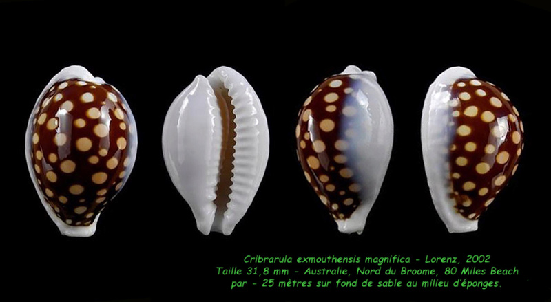 Cribrarula exmouthensis magnifica - Lorenz, 2002 Exmout15