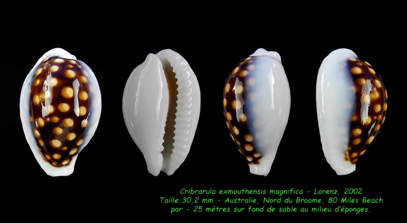 Cribrarula exmouthensis magnifica - Lorenz, 2002 Exmout18
