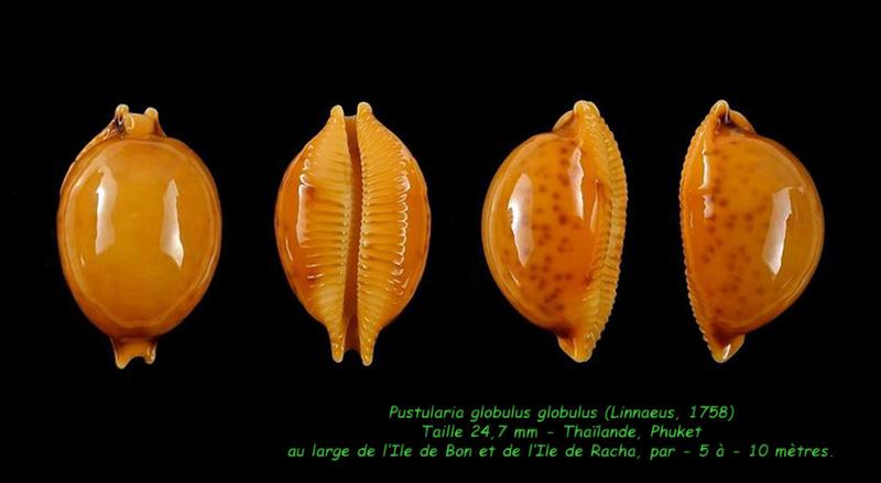 Pustularia globulus globulus - (Linnaeus, 1758) Globul10