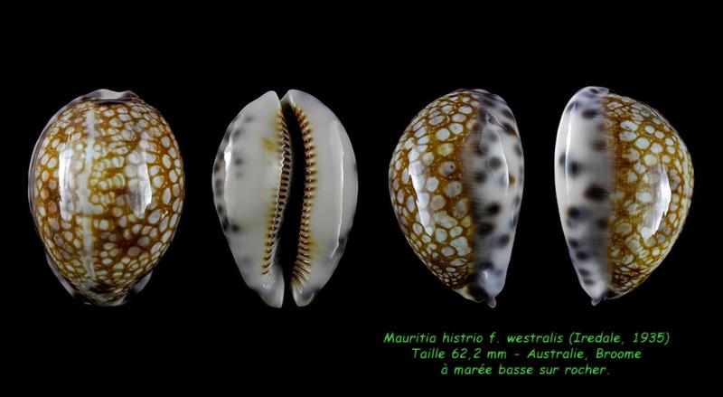 Mauritia histrio f. westralis - (Iredale, 1935) Histri10