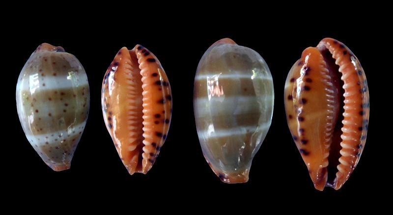 Palmadusta lutea - (Gmelin, 1791) Lutea-10