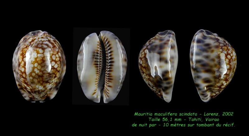 Mauritia maculifera scindata - Lorenz, 2002 Maculi14