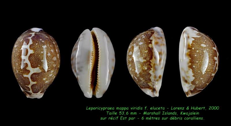 Leporicypraea mappa viridis f. eluceta - Lorenz, F. Jr. & A. Hubert, 2000  - Page 2 Mappa_15