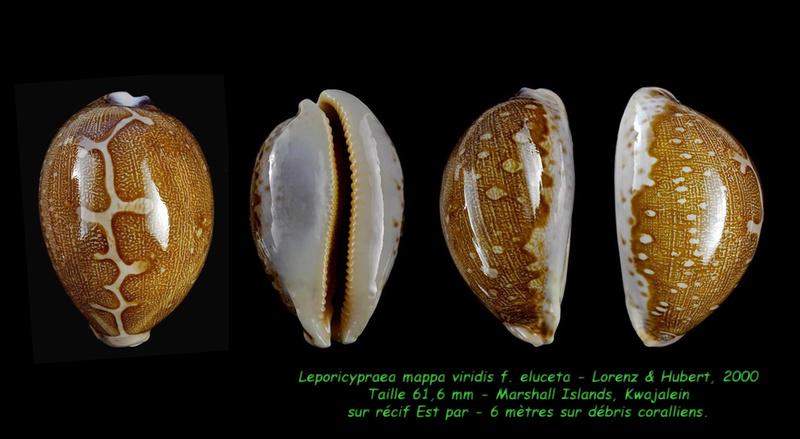 Leporicypraea mappa viridis f. eluceta - Lorenz, F. Jr. & A. Hubert, 2000  - Page 2 Mappa_16